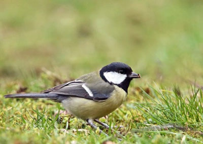 Koolmees, Great Tit, insect