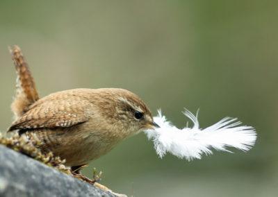 Winterkoning, Wren, veertje, feather
