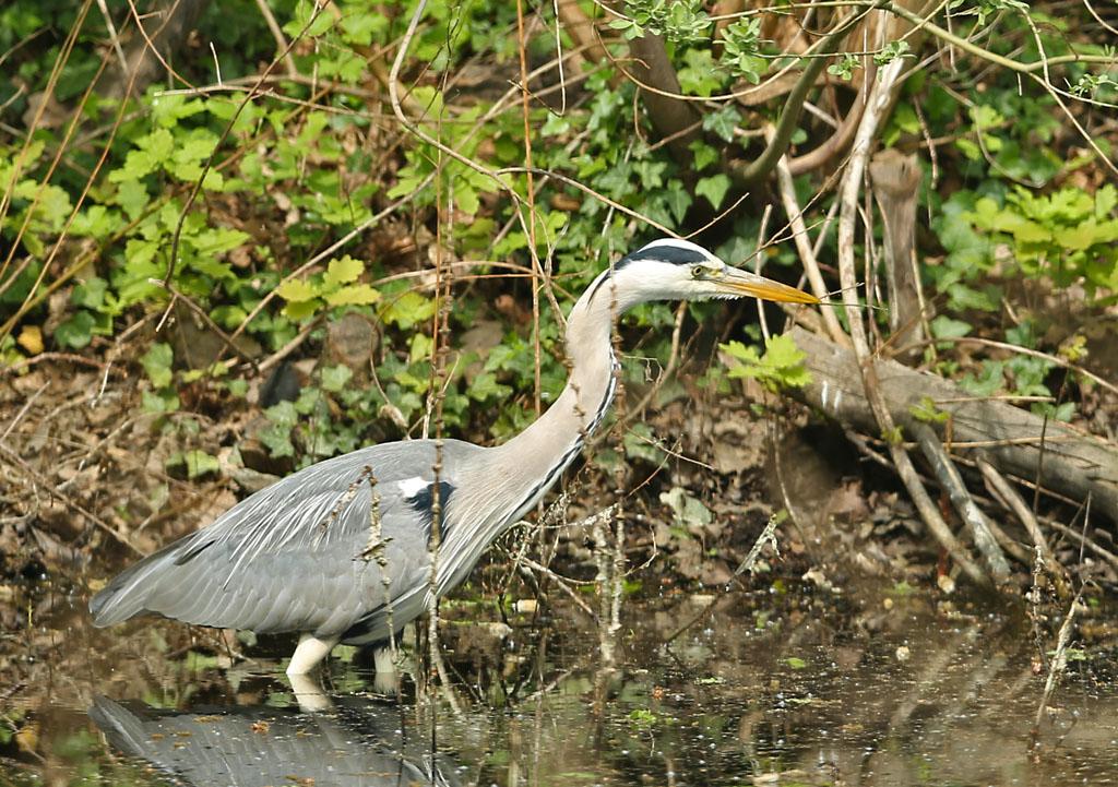 Blauwe reiger - Grey Heron, foerageren, foraging