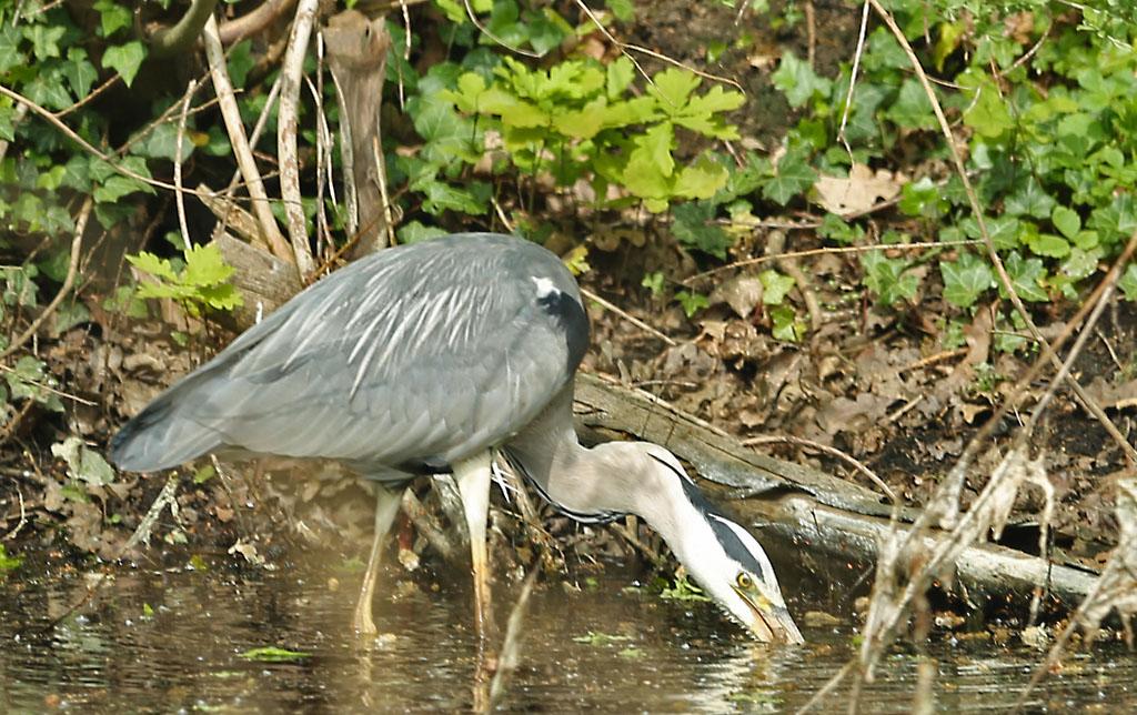 Blauwe reiger, Grey Heron, Veenmol, Mole cricket