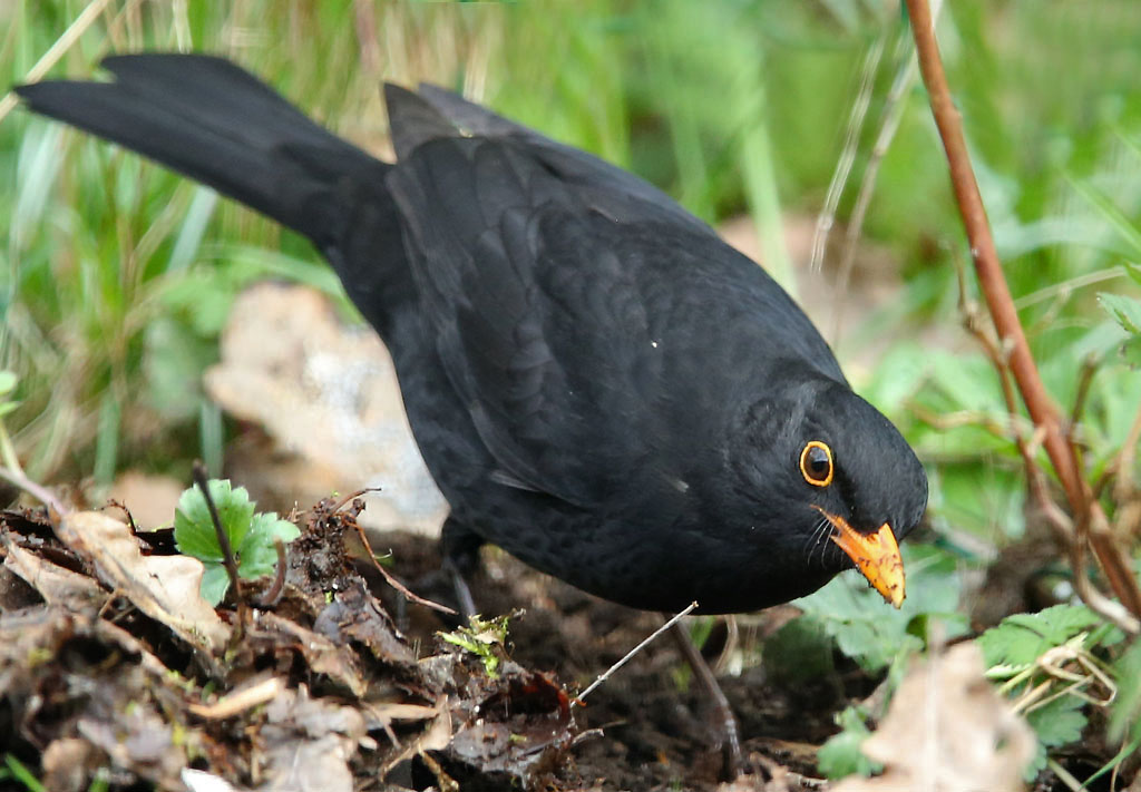 Merel, Blackbird, foraging, foerageren