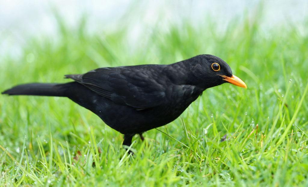 Merel, Blackbird, regenworm, earthworm