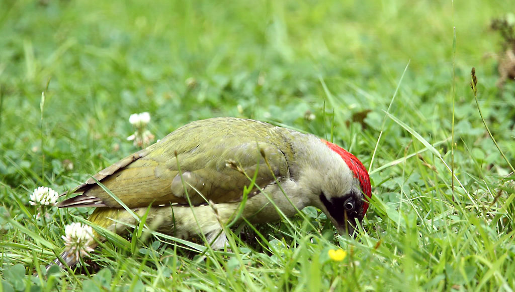 Groene specht, Green Woodpecker, foerageren, foraging
