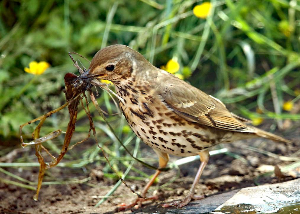 Zanglijster, Song Thrush, nestelen, nesting