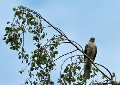 Sperwer, Sparrowhawk