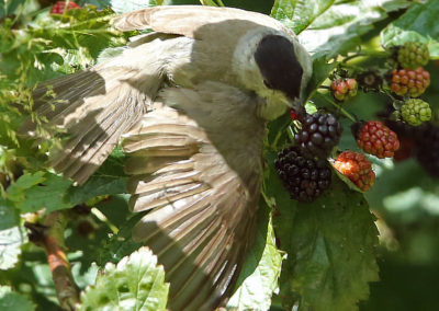 Zwartkop, Blackcap, braambessen, blackberries