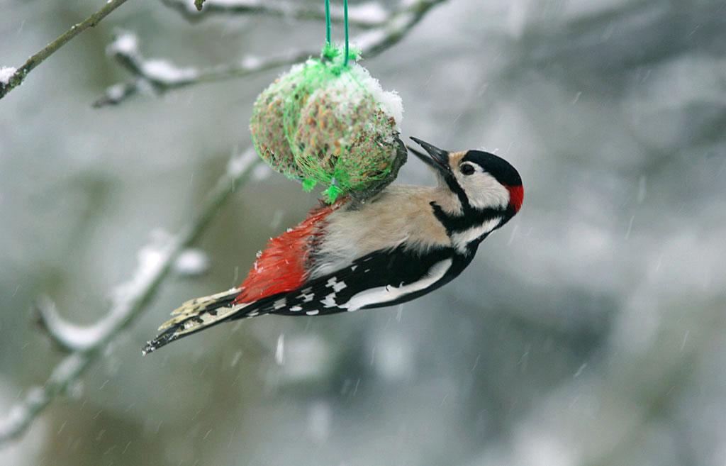 Grote bonte specht, Great Spotted Woodpecker , sneeuw, snow, vetbol