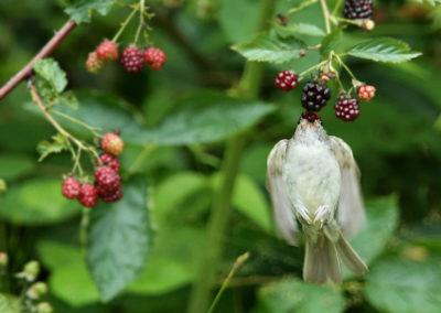 Zwartkop, Blackcap, vlucht, flight, braambessen, blackberries