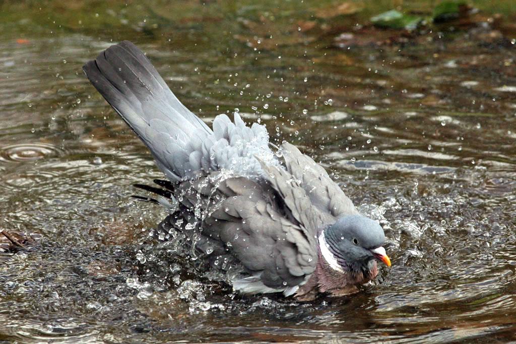 Houtduif, Wood Pigeon, baden, bathing.