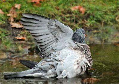 Houtduif,Wood Pigeon, baden, bathing
