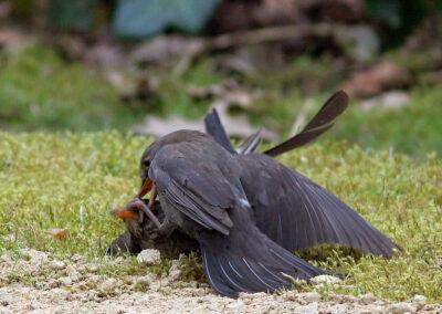 Merel, Blackbird, vechtend, fighting