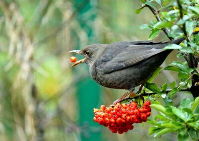 Merel, Blackbird, vuurdoorn bessen, firethorn berries