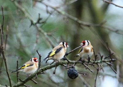 Putter, European Goldfinch