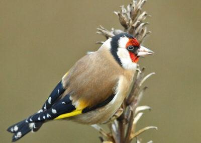 Putter, European Goldfinch, teunisbloem, evening primrose
