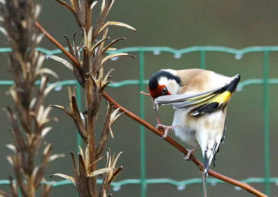 Putter, European Goldfinch, poetsen, preening