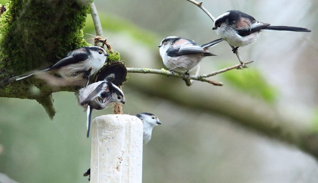 Staartmees, Long-tailed Tit, foerageren, foraging