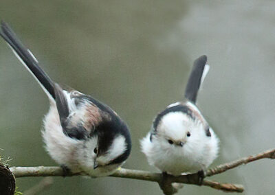 Witkoppige staartmees, Long-tailed Tit, white head