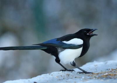 Ekster, Magpie , voedertafel, feeding table, winter