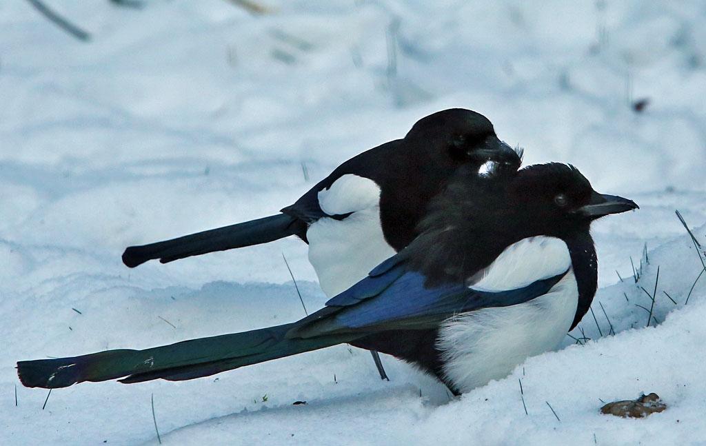 Ekster, Magpie, preening, liefkozen, baltsen, sneeuw, snow