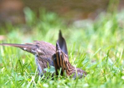 Heggenmus, Dunnock, bathing in the grass, baden in gras