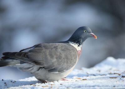 Houtduif, Stock Dove , voedertafel, feeding table