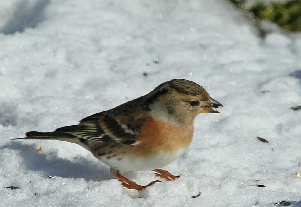 Keep, Brambling, snow, sneeuw, zonnebloempitten, sunflower seeds