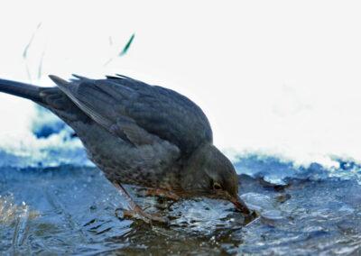 Merel, Blackbird, drinken, drinking, frozen water, winter, bevroren water