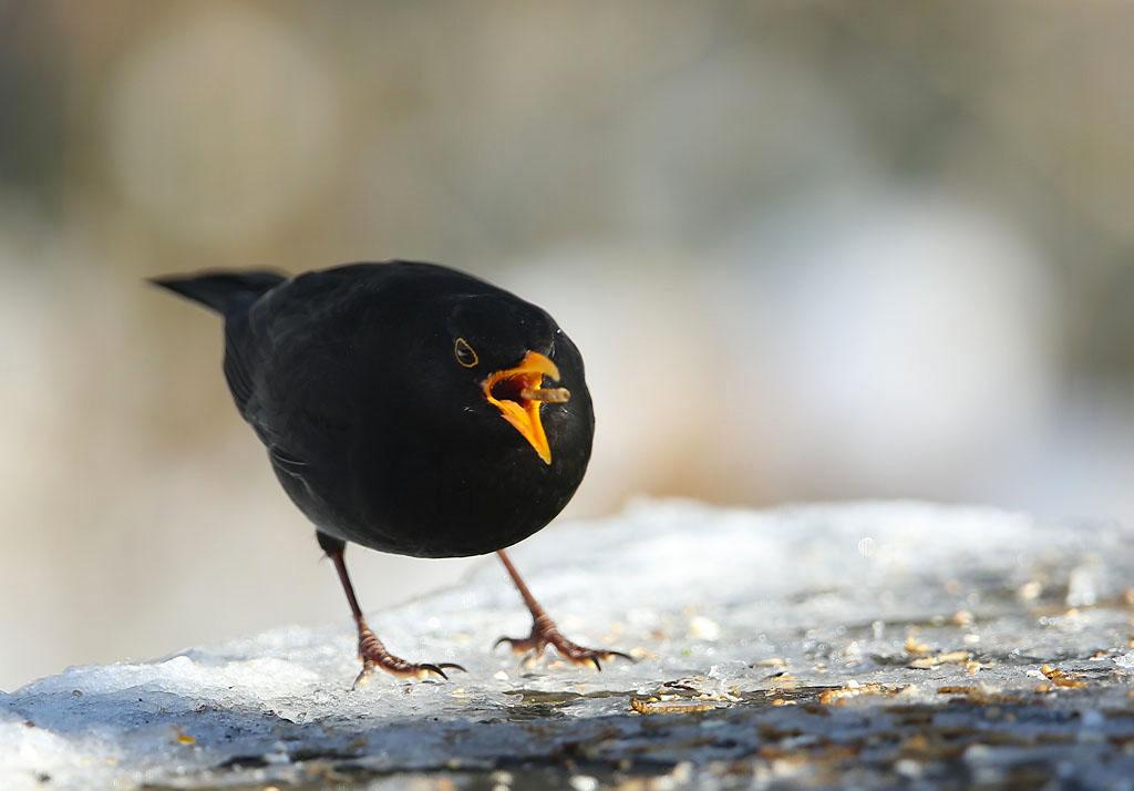 Merel, Blackbird, mealworm, meelworm