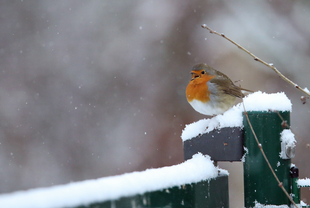 Roodborst, Robin, singing, zingen, snow, sneeuw