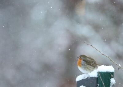 Roodborst, Robin, snow, sneeuw