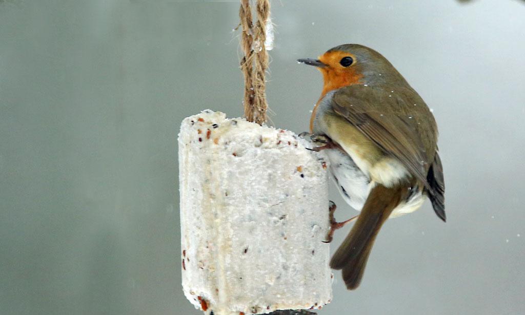 Roodborst, Robin, voedertafel, feeding table