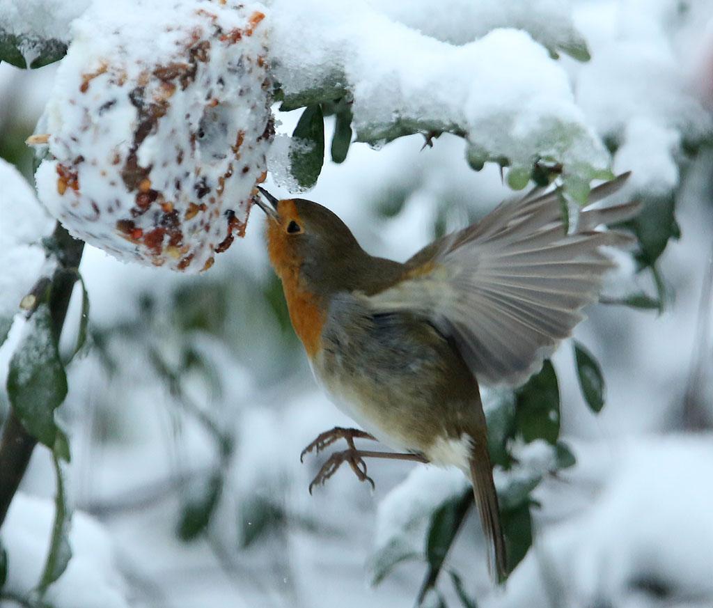 Roodborst, Robin, winter, snow, feeding table, sneeuw, voederplaats