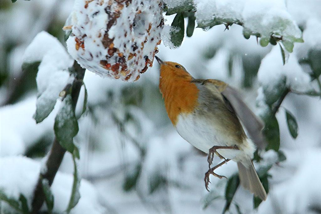 Roodborst, Robin, snow, eating, sneeuw, foerageren, winter