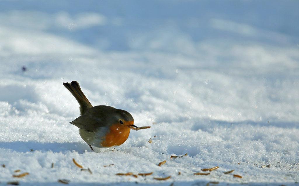 Roodborst, Robin, winter, sneeuw, snow, mealworm, meelworm, winter