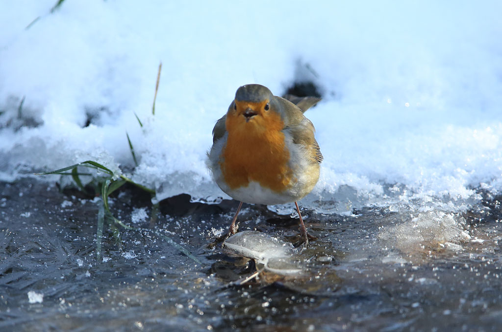 Roodborst, Robin, drinken, drinking, frozen water, bevroren water, winter