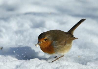 Roodborst, Robin, eating, foerageren, winter, sneeuw, snow, winter
