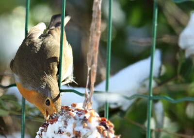 Roodborst, Robin, eating, winter, vetbol, fat bulb