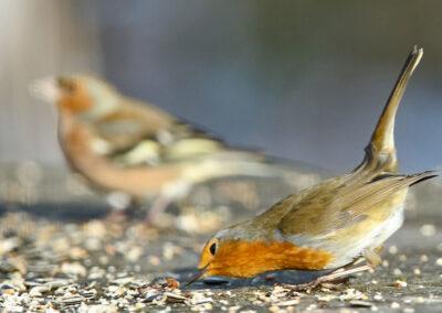 Roodborst, Robin, voedertafel, feeding table, winter