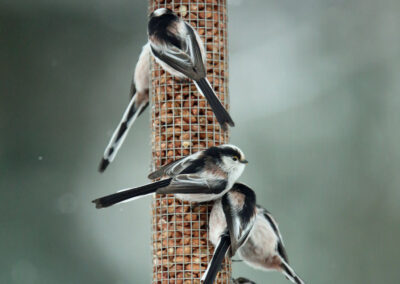 Staartmees, Long-tailed Tit, snow, peanuts, pinda's
