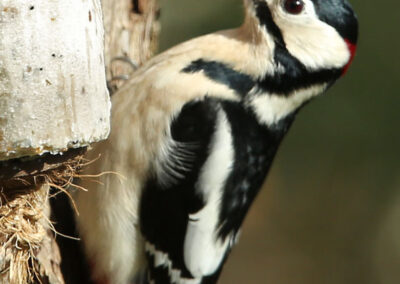 Grote bonte specht, Great Spotted Woodpecker, foerageren, foraging, vetbol, fat bulb