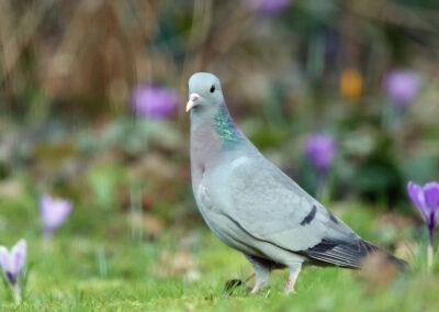 Holenduif, Stock Dove, krokus, crocus, lente, spring