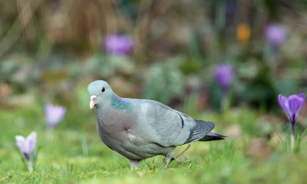 Holenduif, Stock Dove, foraging, foerageren, krokus, crocus