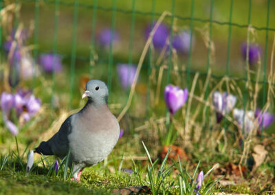 Holenduif, Stock Dove, krokus, crocus