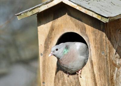 Holenduif, Stock Dove, nestkast, nest box