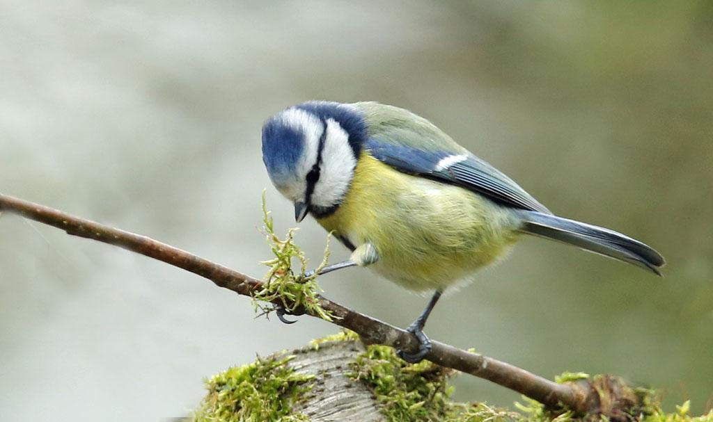 Pimpelmees, Blue TIt, nesting, mos, moss, nestelen