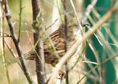 Heggenmus, Dunnock, nestelen, nesting