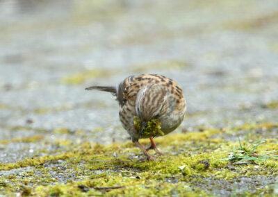 Heggenmus, Dunnock, nestelen, mos, nesting, moss