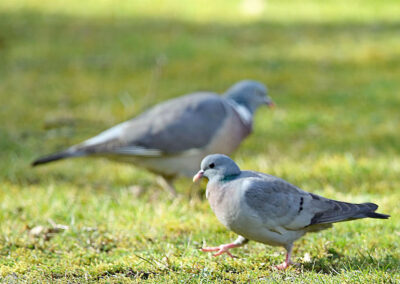 Holenduif, Stock Dove, houtduif, Wood pigeon