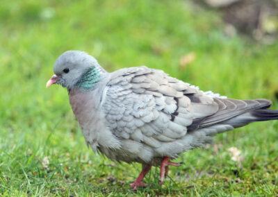 Holenduif, Stock Dove, foerageren, foraging