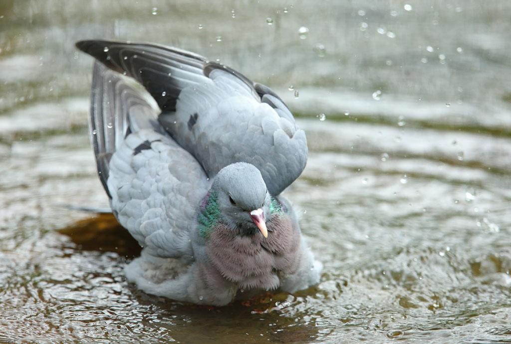 Holenduif, Stock Dove, baden, bathing